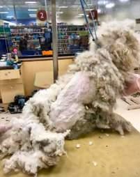 dog rescue poodle