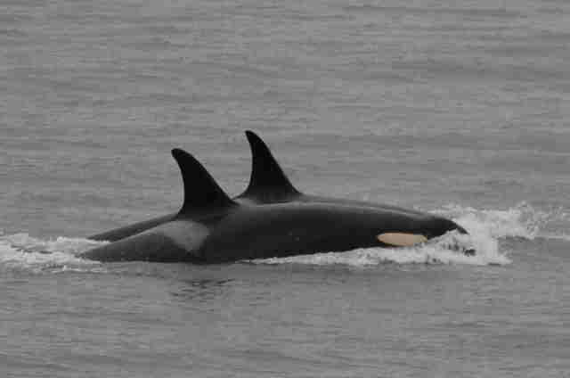 J35 swimming with her pod