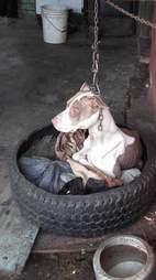 Dog kept on short chain