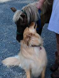 Molly meets Sammie the mini horse