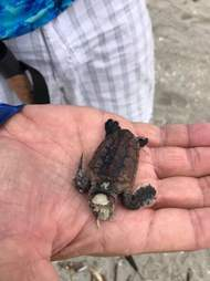 Baby sea turtle killed by the red tide