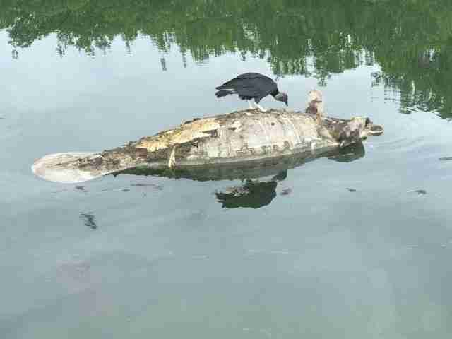 Vulture eating dead manatee in Florida