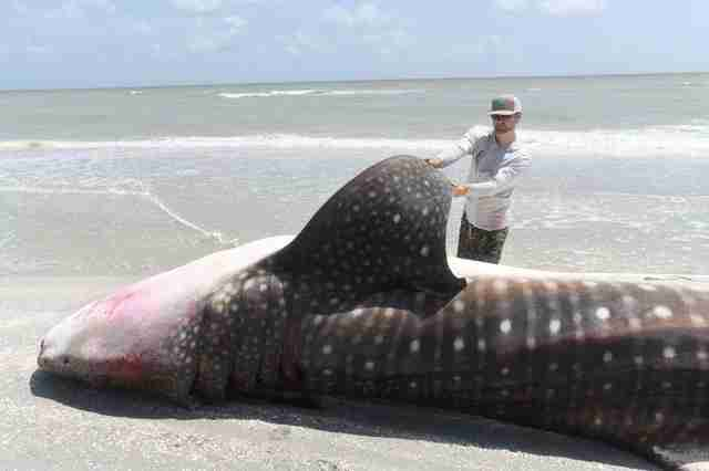 Whale shark killed by red tide poisoning in Florida