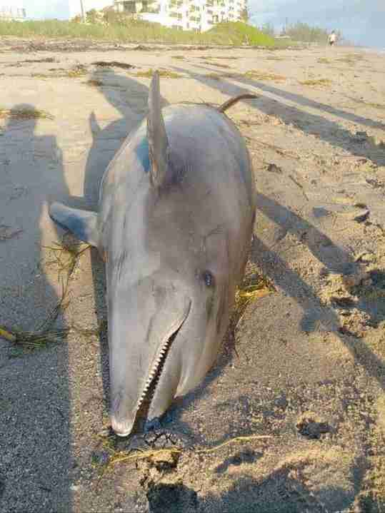 Dolphin dead because of the red tide