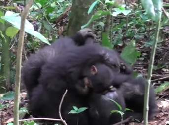 "Wild chimp cuddling baby after game of ""airplane"""