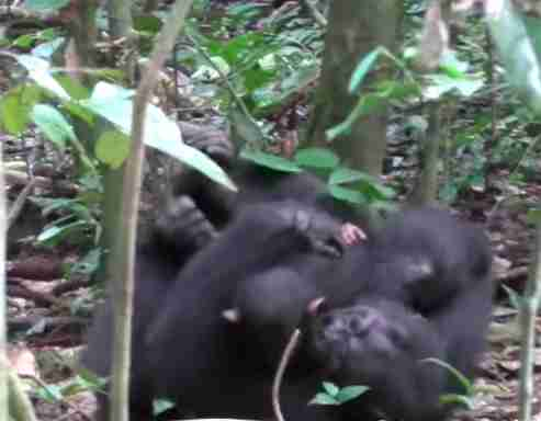 "Wild chimp snuggling baby after game of ""airplane"""