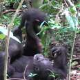 """Wild chimp playing """"airplane"""" with baby"""