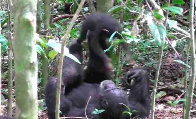 "Chimp playing ""airplane"" with baby on forest floor"