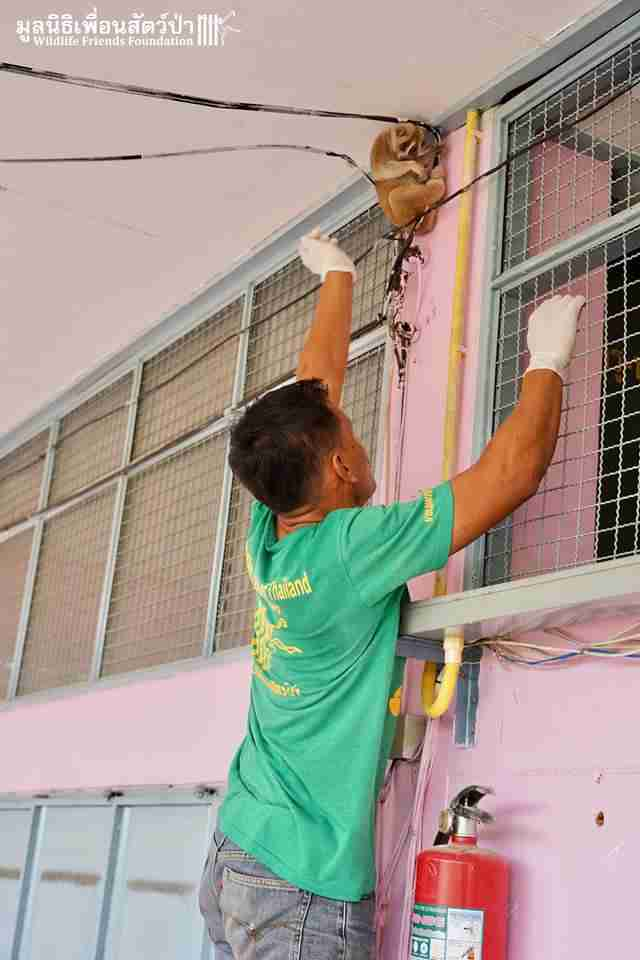 Rescuers getting slow loris off of power cable