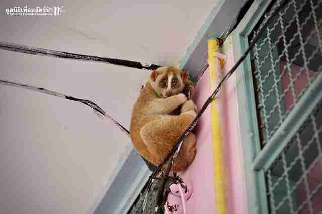 Scared slow loris clinging to power cable at school