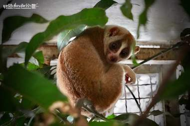 Rescued slow loris in enclosure