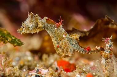New species of pygmy seahorse