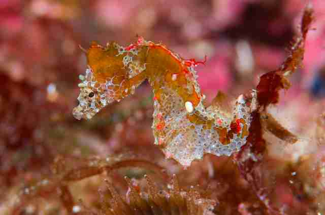 The newly discovered Japan pig pygmy seahorse