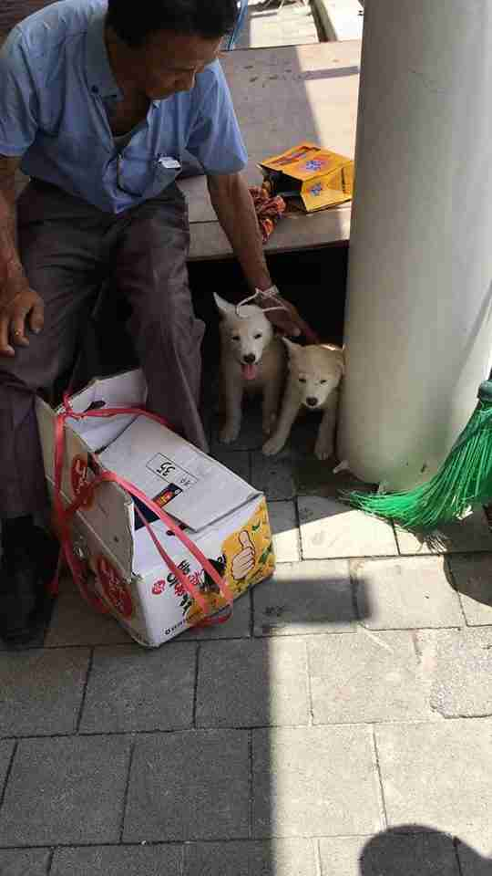 Man trying to sell Korean Jindo puppies