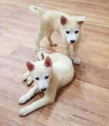 Rescued Korean jindo puppies