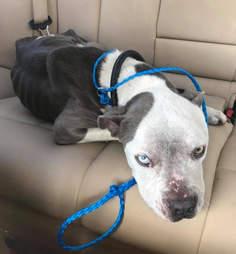 Emaciated dog sitting in backseat of car