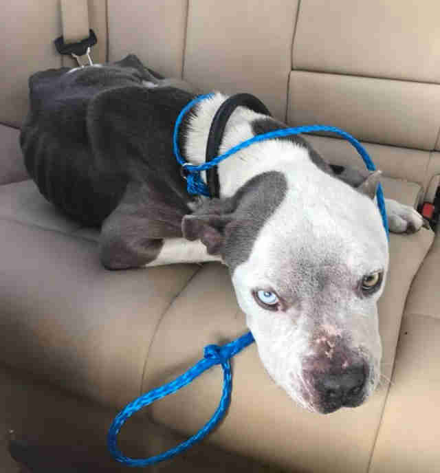 Emaciated dog sitting in backseat of car