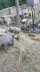 Potbellied pigs needing saving from Kentucky animal hoarding case