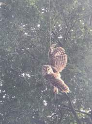 Owl hanging from fishing line