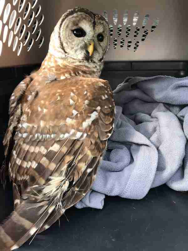 Owl saved after hanging from fishing line