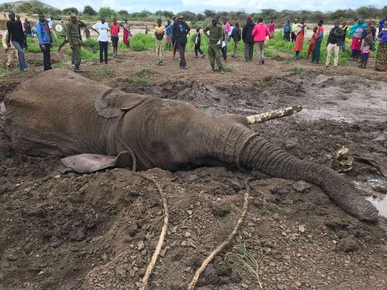 Bull elephant stuck in mud