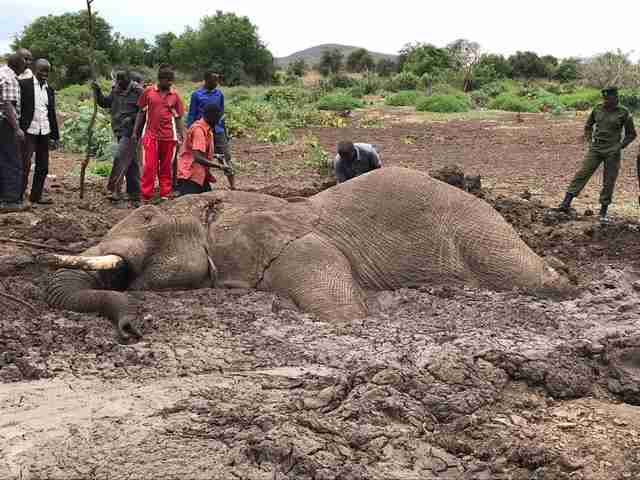 Bull elephant stuck in mud