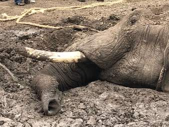 Elephant trapped in mud