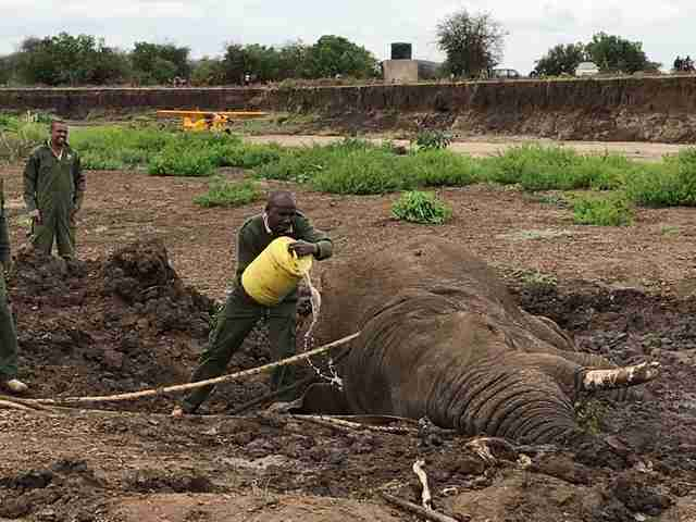 Rescuers pouring water on elephant trapped in mud