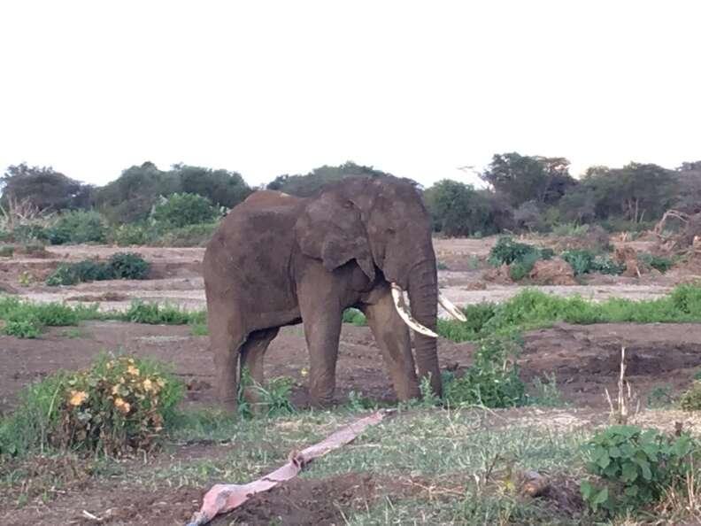 Rescued elephant standing up in Kenyan bush