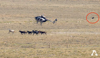 Baby foal falling behind herd