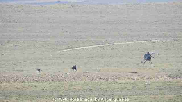 Helicopter chasing horse and baby foal