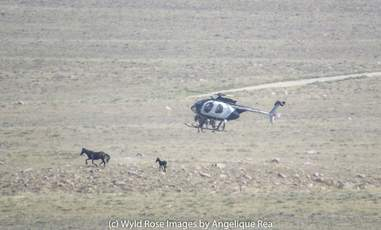Helicopter chasing mare and baby horse