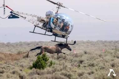 Helicopters rounding up wild horses