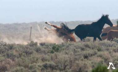 Wild horse falling over barbed wire fence