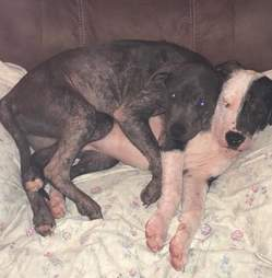 Bonded dogs cuddling together on couch