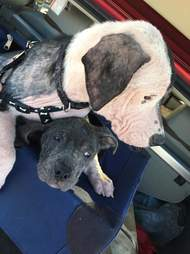 Pit bulls with heads together on woman's lap