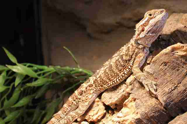 bearded dragon rescue england