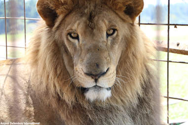 Closeup of rescued male lion