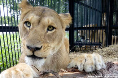Lion in temporary crate