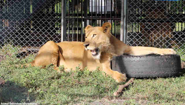Rescued circus lion playing with tire