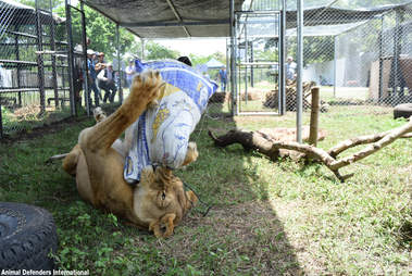 Lion playing with toy in new enclosure