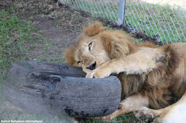 Rescued lion playing with tire in new enclosure