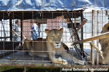 Circus lion stuck in tiny cage
