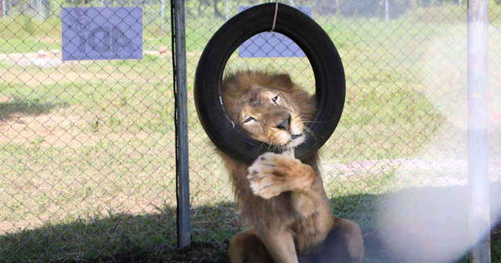 Rescued Circus Lion Can't Stop Cradling His Brand-New Swing