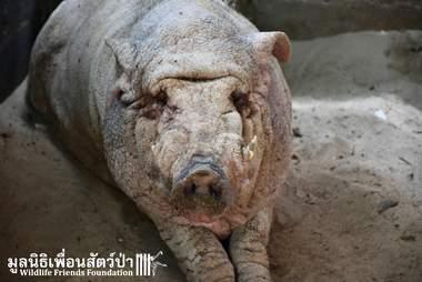 wild boar rescue thailand