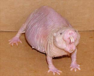 Irritated naked mole rat