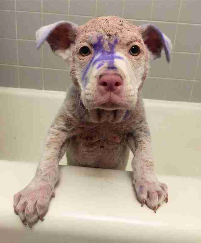 Hairless, painted puppy standing on edge of bathtub