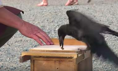 Crow picking up trash in French theme park