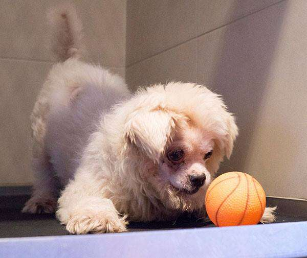 Injured dog playing with toy at vet