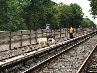 goat rescue new york subway